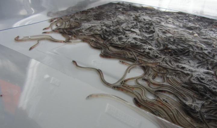 Seafood salesman sentenced for smuggling eels